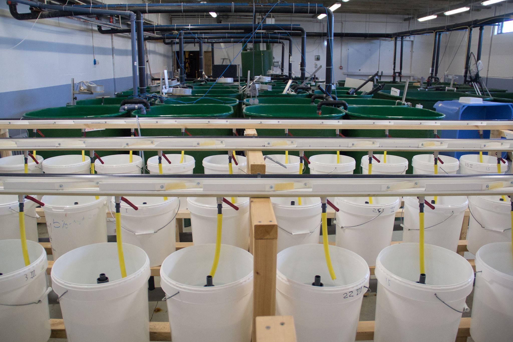 Start of trial on Atlantic Salmon